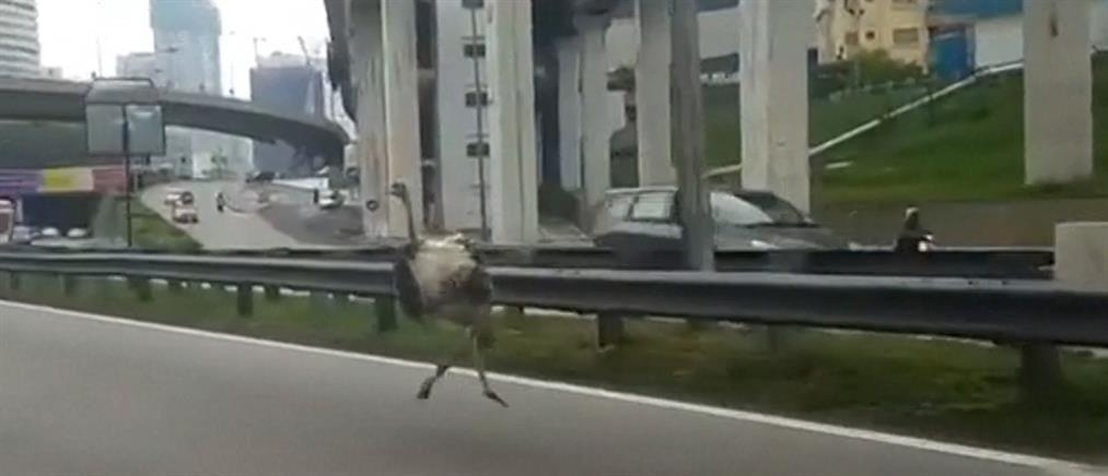 """Στρουθοκάμηλος """"δρομέας"""" σε αυτοκινητόδρομο στη Μαλαισία (βίντεο)"""