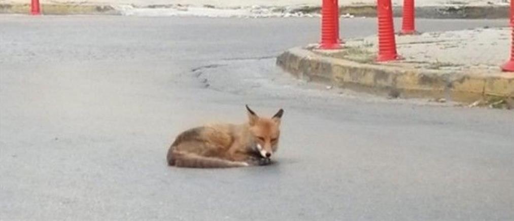 """Αλεπού """"λιάζεται"""" στην μέση του δρόμου στην Αγία Παρασκευή  (εικόνες)"""