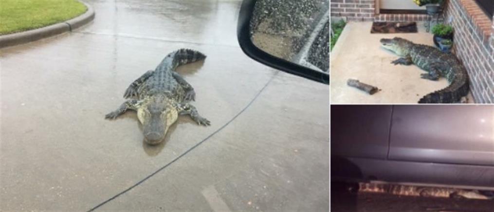Τέξας: ο τυφώνας Χάρβεϊ έβγαλε τους αλιγάτορες στους δρόμους!
