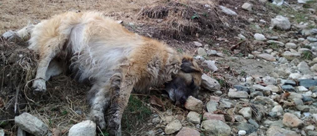 Πάνω από 50 νεκρά σκυλιά από φόλες στην Φλώρινα (εικόνες)