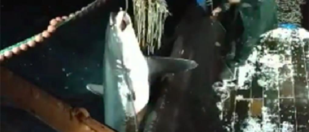 Ψάρεψαν καρχαρία δύο μέτρων στα ανοιχτά της Καβάλας! (εικόνες)