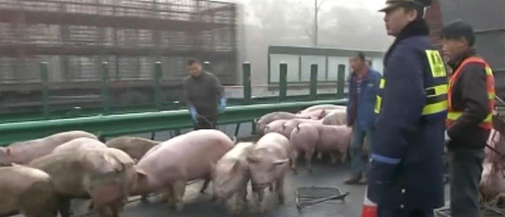 Αστυνομικοί κυνηγούσαν επί 4 ώρες γουρούνια σε αυτοκινητόδρομο (Βίντεο)