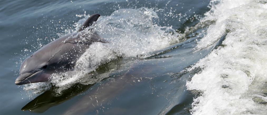Αξέχαστο ταξίδι με τη συνοδεία δελφινιών (βίντεο)