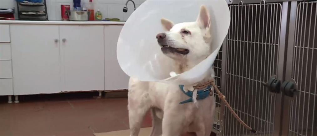 Κέρδισε τη μάχη το σκυλί που είχε μαχαιρωθεί από εκπαιδευτικό στη Νίκαια (βίντεο)