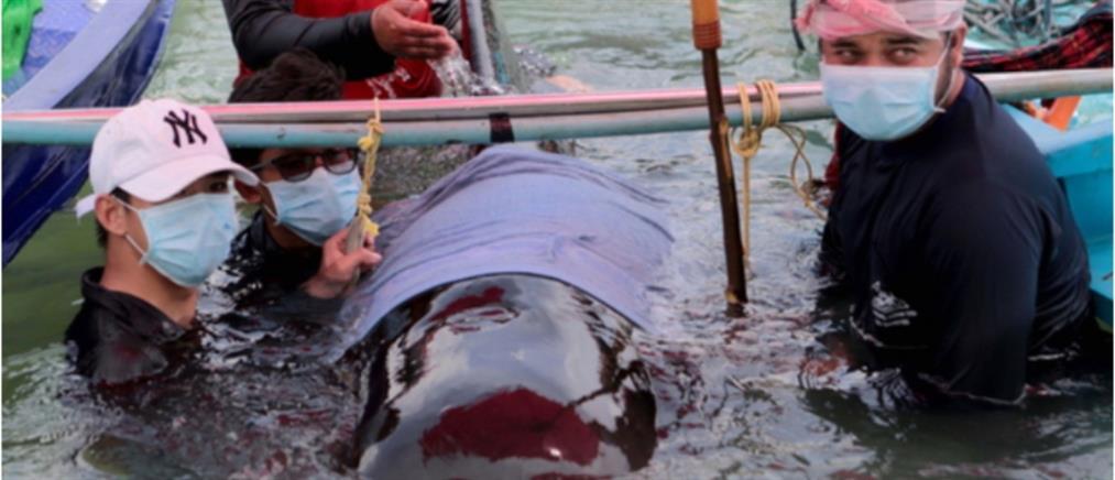 Δεκάδες φάλαινες εκβράσθηκαν στις ακτές της Ισλανδίας!