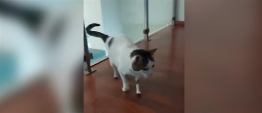 Λαμία - Περσέας: Ο γάτος που κατάφερε να περπατήσει ξανά με τεχνητά πόδια (βίντεο)