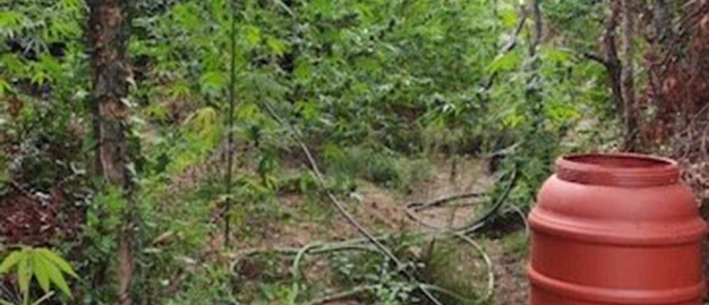 Πλατανιάς Χανίων: Χασισοφυτεία με χιλιάδες δενδρύλλια (εικόνες)