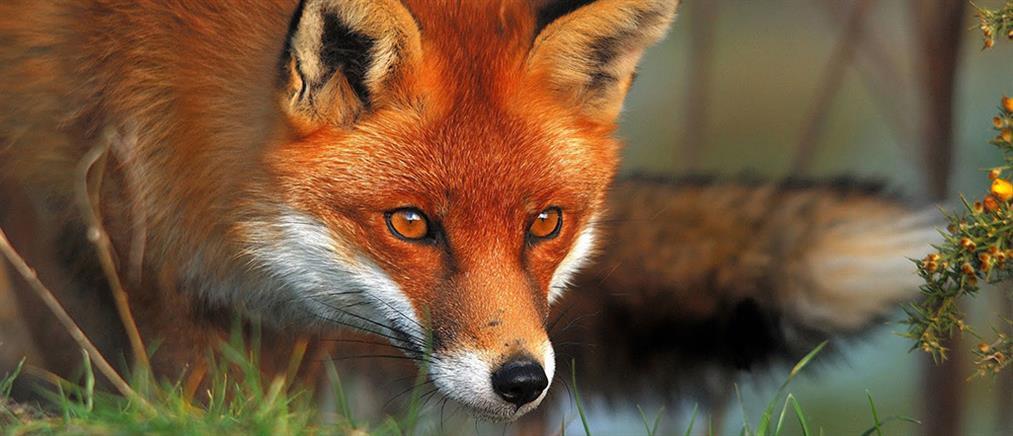Σκληρές εικόνες: Κρέμασαν αλεπού από δέντρο
