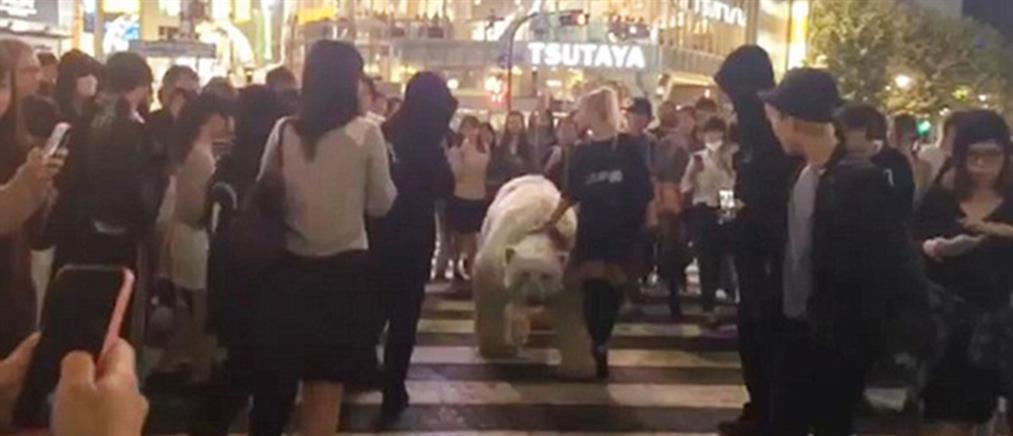 Πολική αρκούδα κάνει βόλτα στο κέντρο του Τόκιο