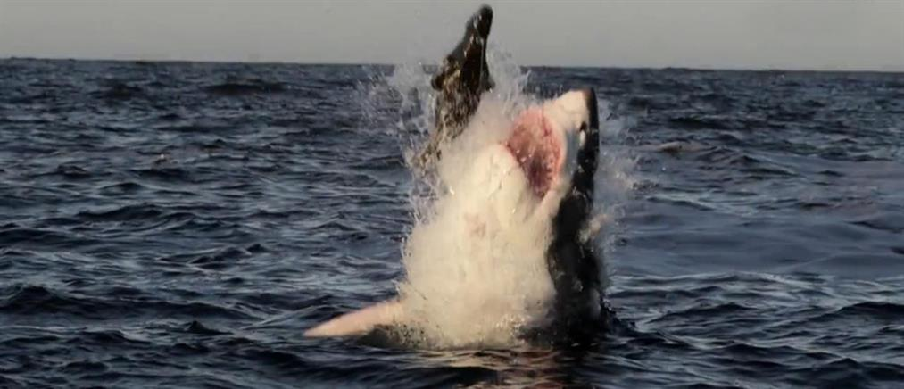 «Ιπτάμενοι» λευκοί καρχαρίες