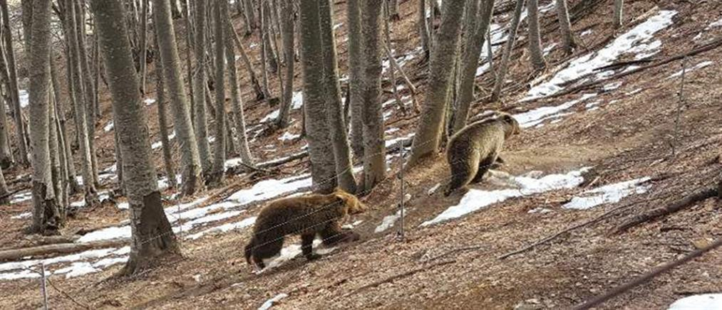 Η Άνοιξη είναι και επισήμως εδώ! Ξύπνησαν οι αρκούδες στον Αρκτούρο (φωτό)