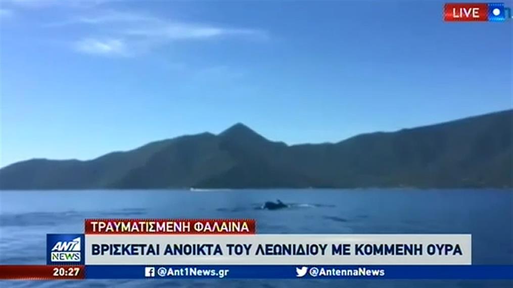 Τραυματισμένη φάλαινα βρέθηκε ανοιχτά  του Λεωνιδίου