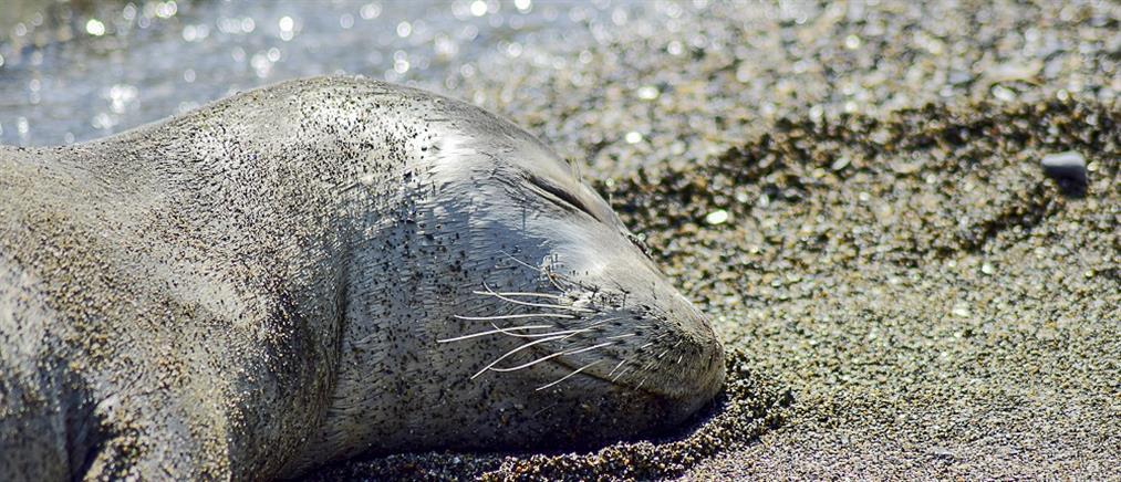 Νεαρή φώκια σκόρπισε ενθουσιασμό σε παραλία της Σκοπέλου (φωτό)