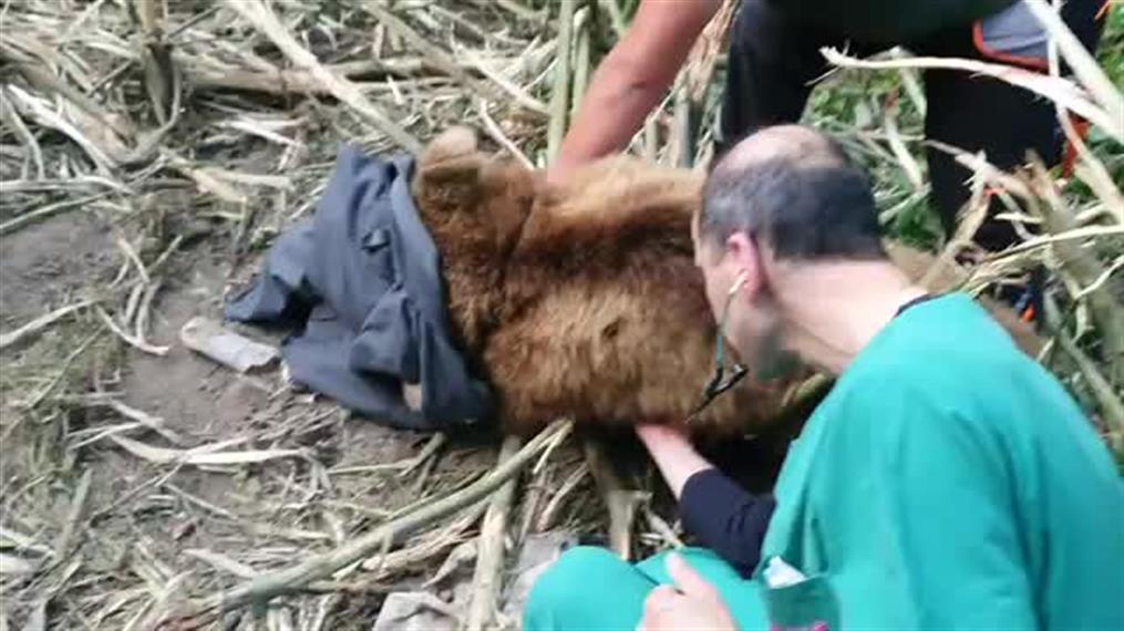 Αρκτούρος: Επιχείρηση απεγκλωβισμού αρκούδας από παγίδα