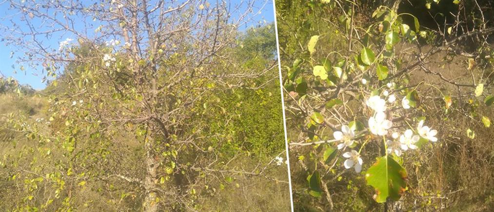 """Απίστευτο! Άνθισαν τα δέντρα στην """"καρδιά"""" του φθινοπώρου (εικόνες)"""
