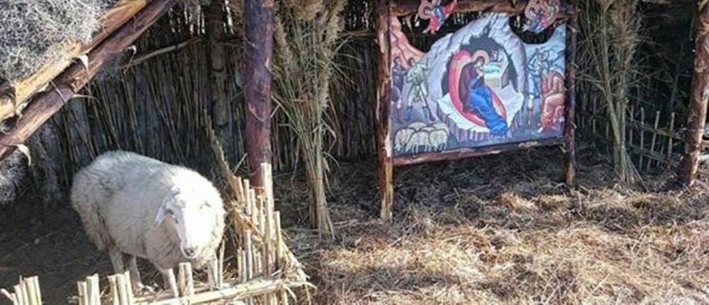 Απίστευτο! Έβαλαν ζωντανά πρόβατο σε φάτνη (εικόνες)