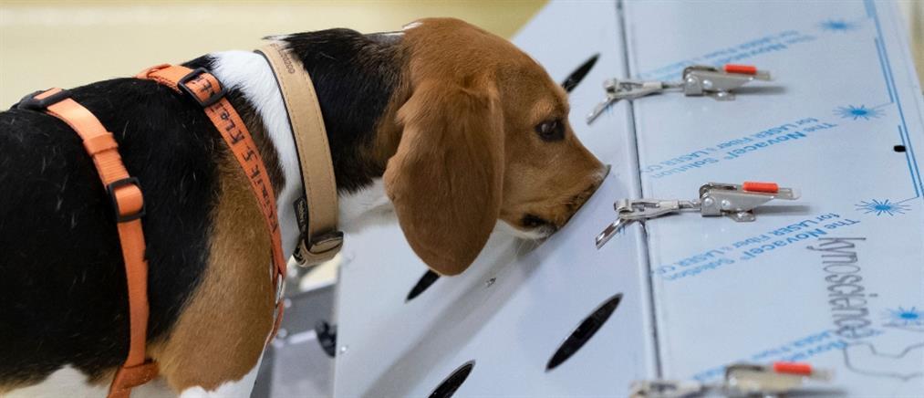 Οι σκύλοι μυρίζουν με μεγάλη ακρίβεια τον κορονοϊό