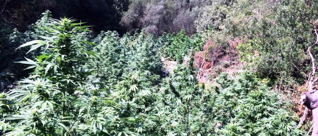 Εξαρθρώθηκε σπείρα που καλλιεργούσε και διακινούσε κάνναβη (εικόνες)