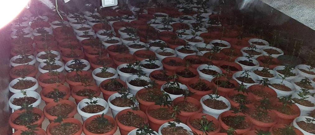 Φυτώριο κάνναβης με εκατοντάδες δενδρύλλια μέσα σε.. διαμέρισμα (εικόνες)