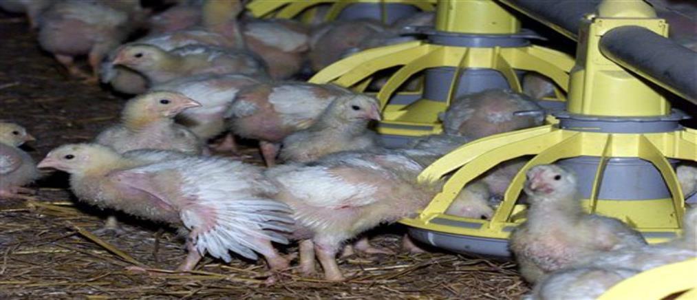 Γρίπη των πτηνών: θανάτωση 190000 πουλερικών στην Ολλανδία