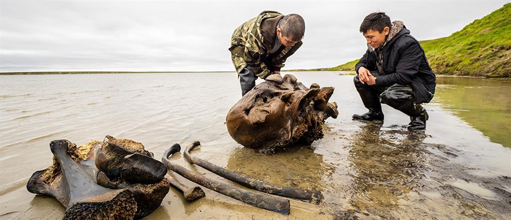 Εντυπωσιακές εικόνες από λείψανα καλοδιατηρημένου μαμούθ
