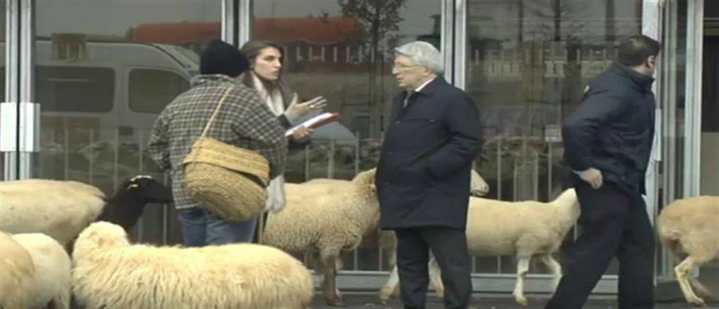 Γέμισε πρόβατα το νέο γήπεδο της Ατλέτικο Μαδρίτης (βίντεο)