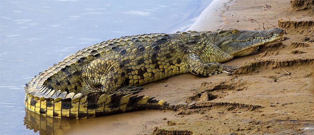 Kροκόδειλοι - δολοφόνοι βρέθηκαν στα νερά της Φλόριντα