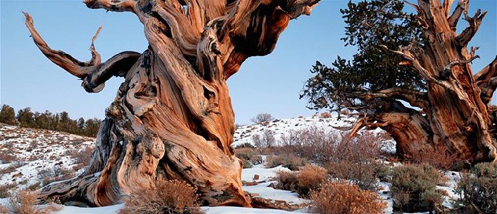 Η κλιματική αλλαγή απειλεί τα γηραιότερα δέντρα του κόσμου