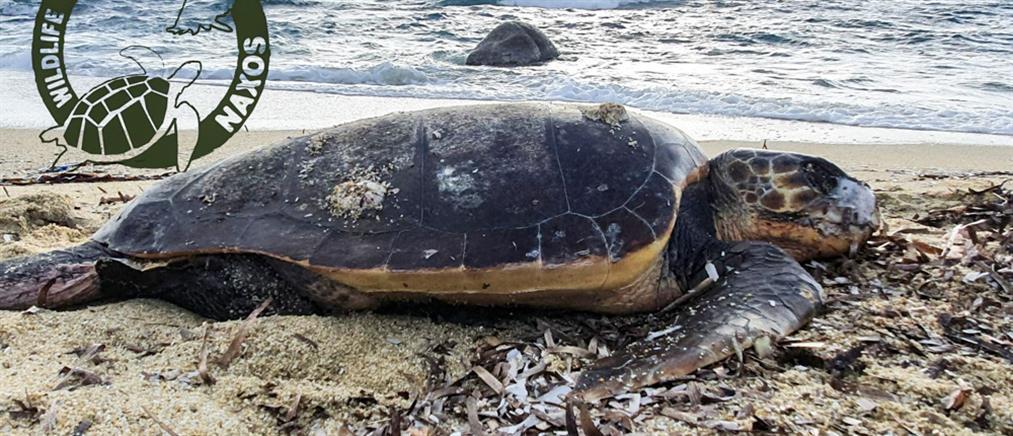 """Βρέθηκε """"σφαγμένη"""" χελώνα σε ακτή"""