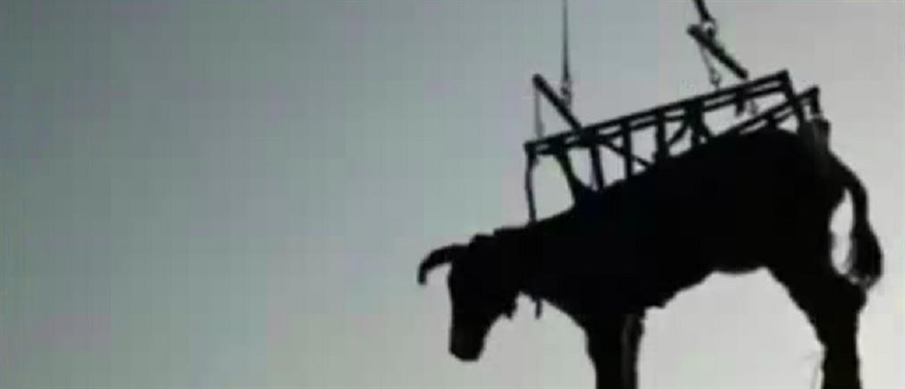 Γαϊδούρι διασώθηκε από ελικόπτερο (βίντεο)