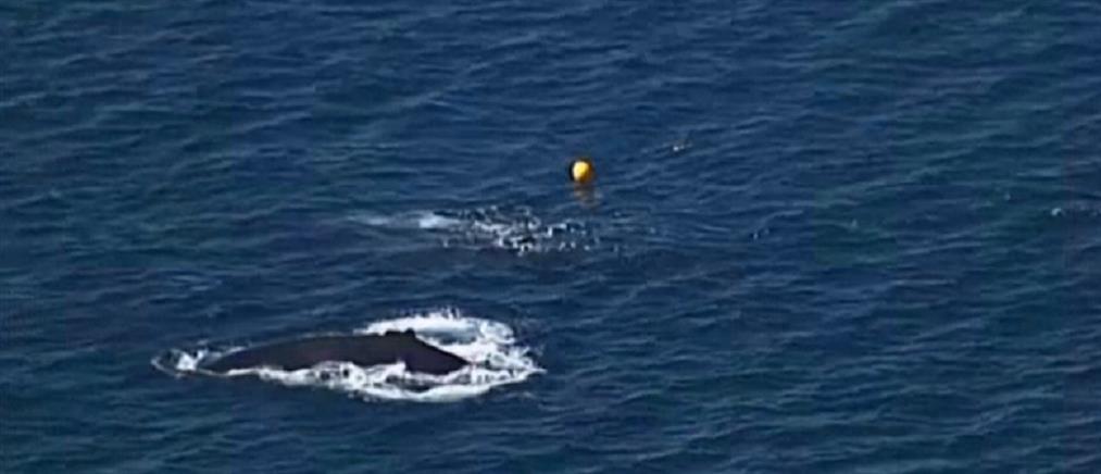 Επιχείρηση απελευθέρωσης μικρής φάλαινας (βίντεο)