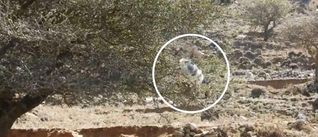 "Viral: Κατσίκα ""ακροβατεί"" σε αχλαδιά στην Κρήτη (βίντεο)"