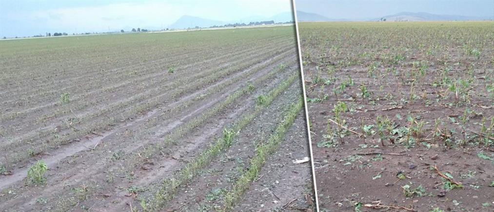 """""""Έστρωσε"""" χαλάζι στα Φάρσαλα – Τεράστιες ζημιές στις καλλιέργειες (βίντεο)"""