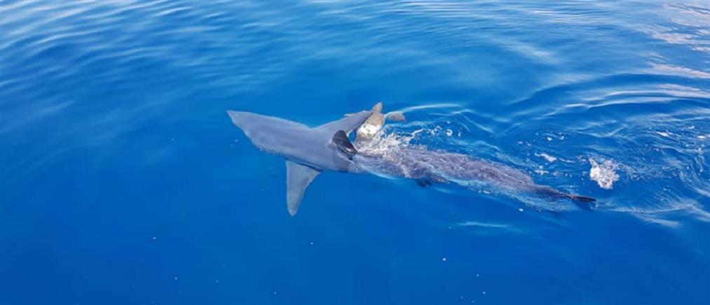 Καρχαρίας κατασπάραξε χελώνα κοντά σε ακτή (βίντεο)