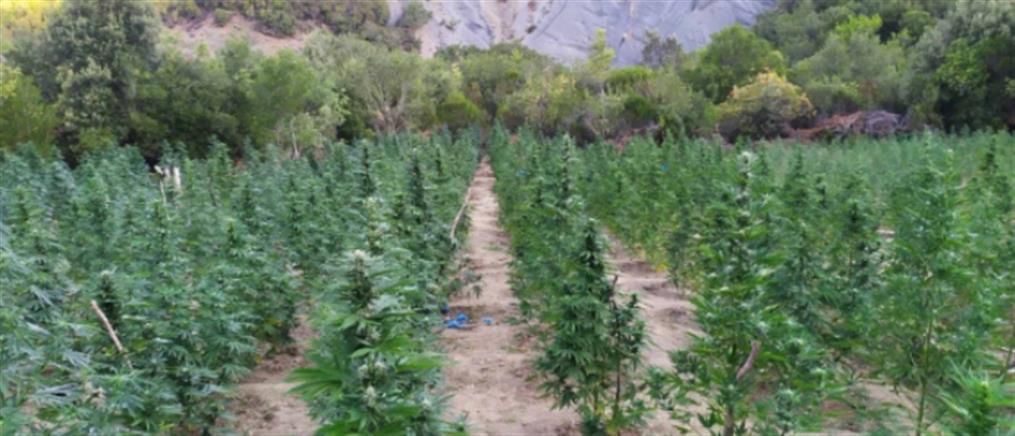 Καλλιεργητές κάνναβης με πανελλαδικό δίκτυο διακίνησης ναρκωτικών (εικόνες)