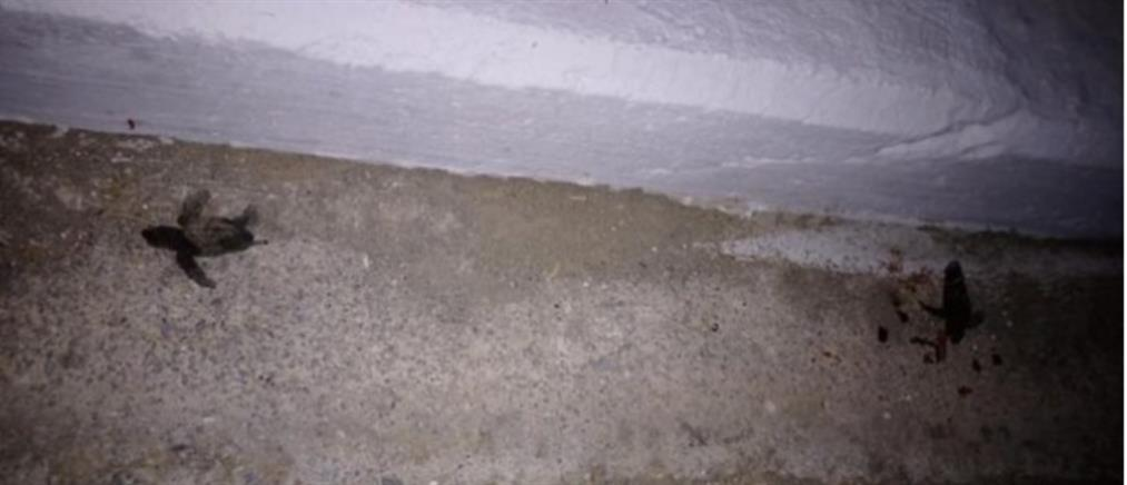 Νεκρά χελωνάκια σε παραλιακό δρόμο των Χανίων