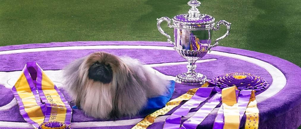 "Westminster Dog Show: ο Γουασάμπι ""σάρωσε"" στην Νέα Υόρκη (εικόνες)"