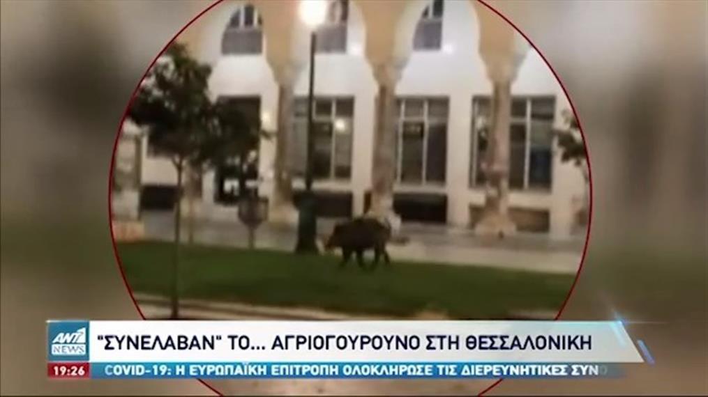 Θεσσαλονίκη: έπεσε στην παγίδα που του είχαν στήσει το αγριογούρουνο που έκανε βόλτες στο κέντρο