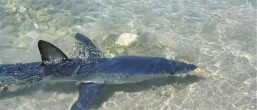 Δίμετρος καρχαρίας κάνει… βόλτα στο Λουτράκι (βίντεο)