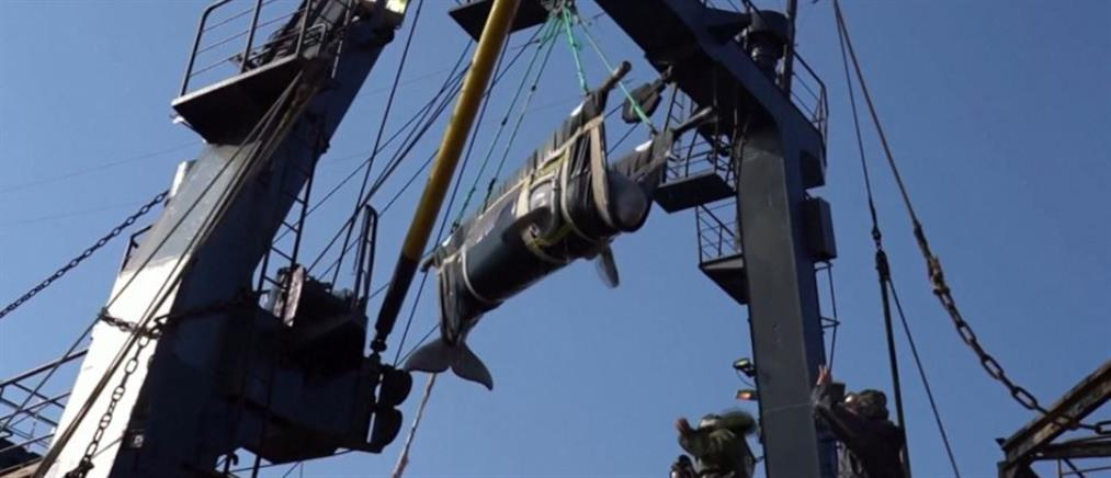 Ελεύθερες και οι τελευταίες φάλαινες μπελούγκα (βίντεο)
