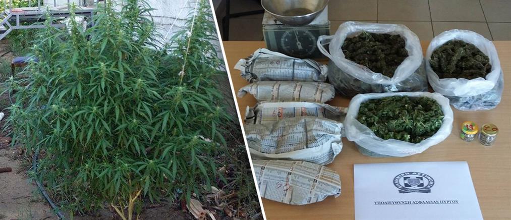 Ισοβίτης δραπέτευσε και συνελήφθη να καλλιεργεί δενδρύλλια κάνναβης