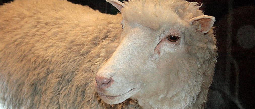 Με «επιτύμβια» πλάκα θα τιμηθεί η διάσημη Ντόλι το πρόβατο