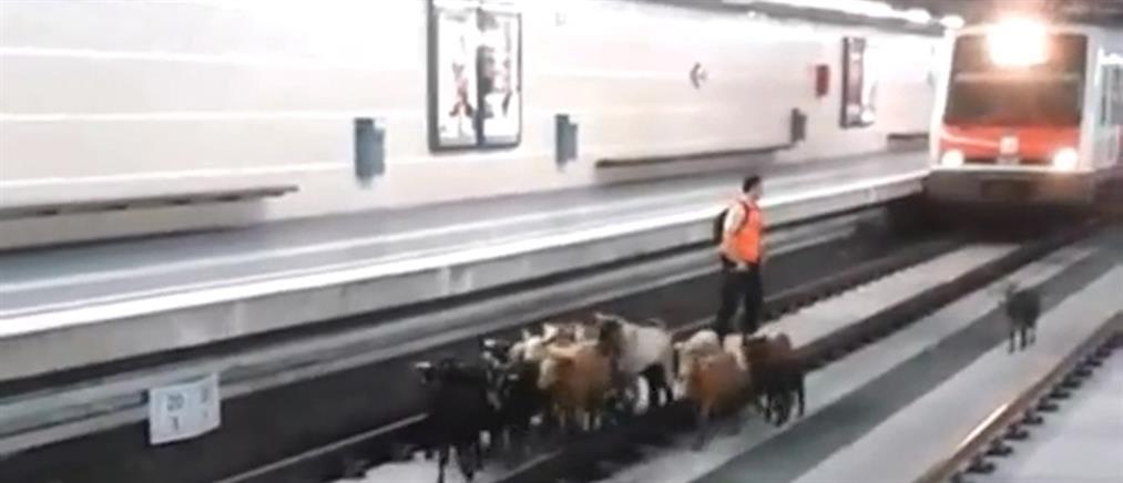 Κατσίκες «κατέλαβαν» σιδηροδρομικό σταθμό της Καταλονίας