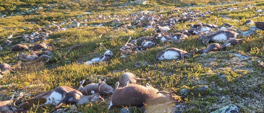 Νεκροί από κεραυνό 323 τάρανδοι στη Νορβηγία (Βίντεο)