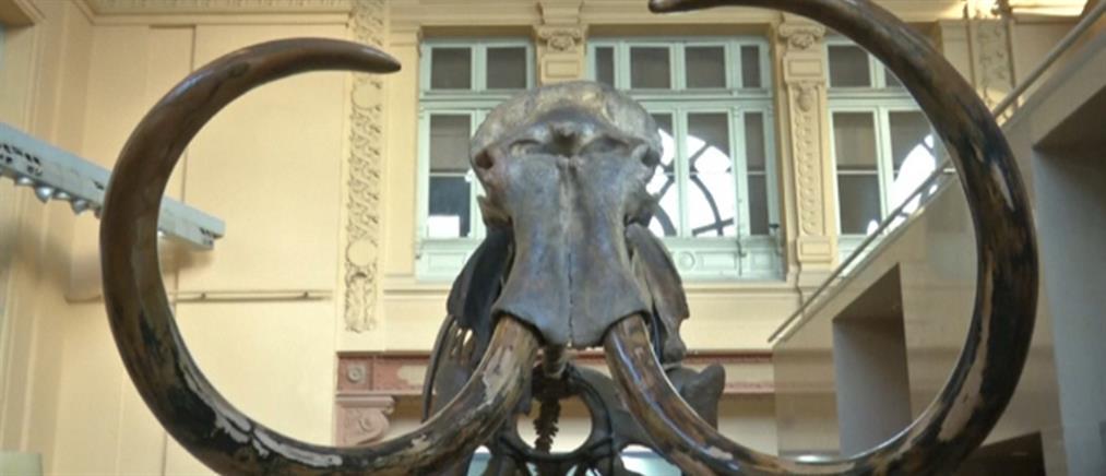 """Σκελετός μαμούθ δημοπρατήθηκε σε τιμή…. """"μαμούθ"""" (βίντεο)"""