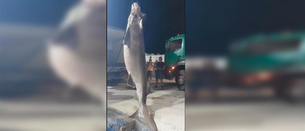 Καρχαρίας 6 μέτρων στα δίχτυα ψαράδων (εικόνες)