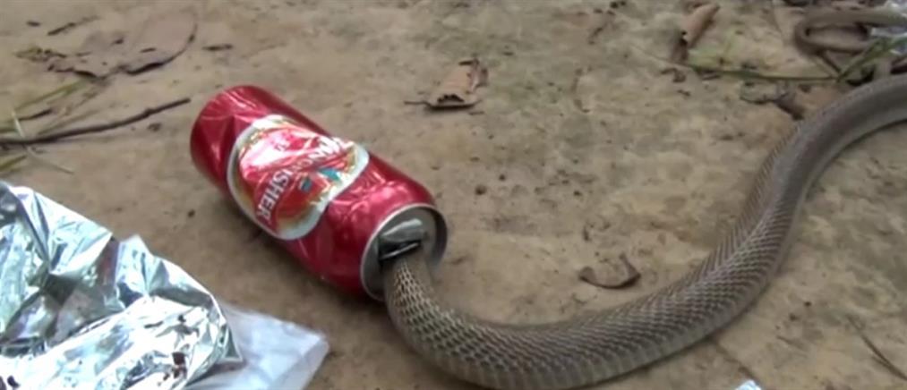 Διάσωση κόμπρας από… κουτάκι μπίρας (βίντεο)