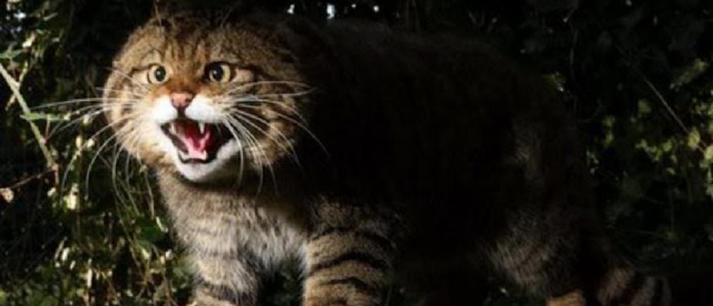 Αυστραλία: οι αρχές σκοτώνουν εκατομμύρια αγριόγατες με δηλητηριασμένα λουκάνικα!