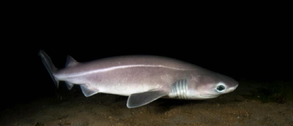 Προστατευόμενο είδος ο καρχαρίας που πιάστηκε στο Άγιον Όρος