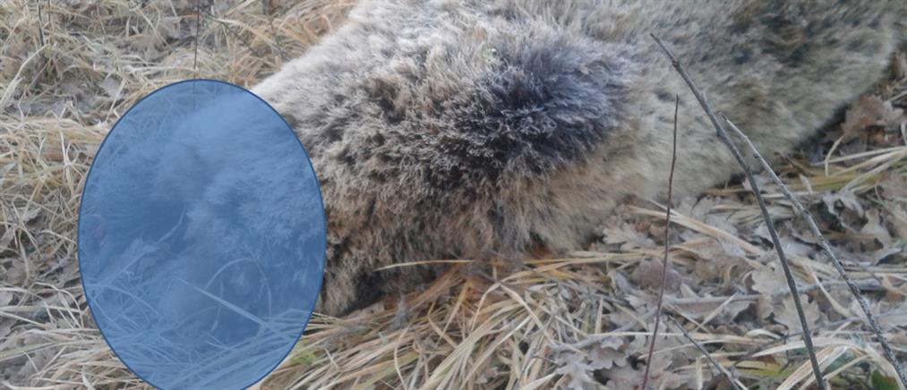 Φρίκη: Σκότωσαν, ακρωτηρίασαν και αποκεφάλισαν έγκυο αρκούδα στην Κοζάνη